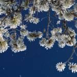 """""""Winter Pine"""" by Littlepig"""