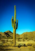 Lonesome Saguaro