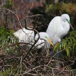 """Great Egrets on Nest"" by Groecar"