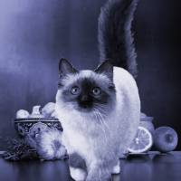 Siamese If You Please by I.M. Spadecaller