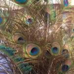 """Feathers_Isabela_Dunklin_peacock_paun_Romania"" by easyfigure"