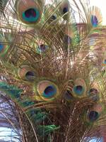 Feathers_Isabela_Dunklin_peacock_paun_Romania