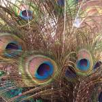 """""""peacock_feathers"""" by easyfigure"""
