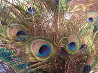 peacock_feathers