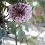"""Hoya Flower"" by mdarrah"