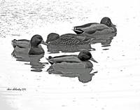 Mallards at Rest