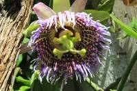 Flower of a Passion Fruit