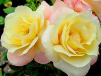 Sweet yellow with pink roses