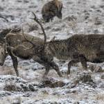 """Stags Rutting in the Snow"" by derekbeattieimages"