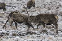 Stags Rutting in the Snow