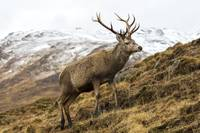 Royal Red Deer Stag in Winter