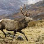 """Red Deer Stag Running"" by derekbeattieimages"