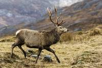Red Deer Stag Running