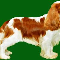Cavalier King Charles Spaniel Art Prints & Posters by Marian Cates