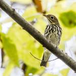 """Ovenbird"" by WildAboutNaturePhotography"