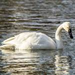 """Tundra Swan"" by WildAboutNaturePhotography"