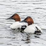 """Canvasback Ducks"" by WildAboutNaturePhotography"