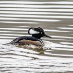"""Hooded Merganser"" by WildAboutNaturePhotography"