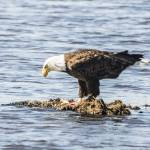 """""""Bald Eagle"""" by WildAboutNaturePhotography"""