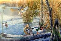Evening Solitude-North American Mallards