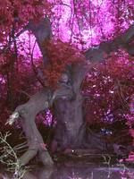 Pink Knotted Tree