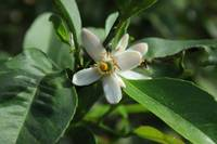 Orange Blossom on a Tree