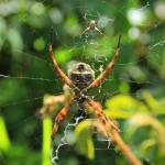 """Orb Weaver Spider and Its Web"" by rhamm"