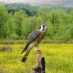 Kestrel Hunting in the Meadow