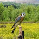 """""""Kestrel Hunting in the Meadow"""" by spadecaller"""
