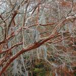 """Winter Crepe Myrtles"" by Groecar"