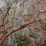 """""""Winter Crepe Myrtles"""" by Groecar"""