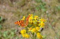 Comma Butterfly and Honey Bee
