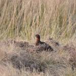 """Red Grouse"" by malcolmsnook"