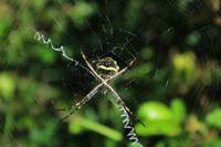 Orb Weaver Spider Waiting in a Web