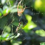 """Spider After Molting"" by rhamm"