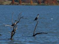 Two Cormorants Dry Feathers