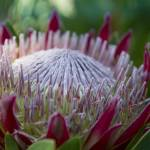 """King Protea Island Flowers Jewel of the Garden"" by sharonmau"