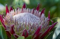 King Protea Island Flowers Jewel of the Garden