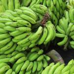 """Stalks of Fresh Bananas"" by rhamm"