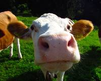 Moo Smooch