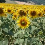"""""""Sunflowers"""" by florian_steiner"""