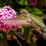 """Humming Bird snack"" by steveondrusphotography"