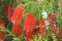 Bottlebrush Trees in Bloom