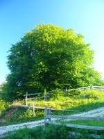 Yellow-green Tara mountain tree - original photo