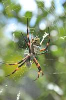 Orb Weaver Spider and Prey in a Web