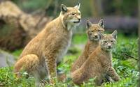 Mother Lynx and Her Cubs
