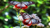 White and Red Butterflies