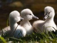 White Fluffy Swan Chicks