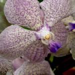 """Spotted Phaleanopsis 2"" by LyndaLehmann"