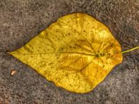 YELLOW LEAF IN THE RAIN, 20 DECEMBER 2015